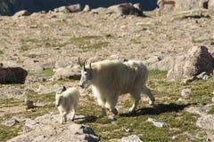 Babysitter e bambino della capra di montagna Fotografie Stock