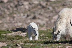 Babysitter e bambino della capra di montagna Fotografia Stock