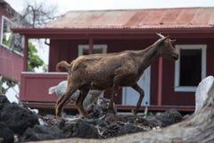 Babysitter Goat in selvaggio Immagini Stock Libere da Diritti