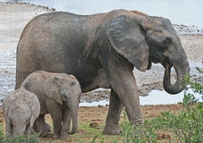 Babysitting Elephant. Mature african elephant with two youngsters at a waterhole in Addo Elephant national park, South Africa Stock Photography