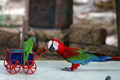 Babysitting parrot. Cute colorful parrot babysitting a small parrot stock photo