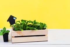 Babysprösslinge, Trieb, Sämling, Schössling in einer Holzkiste mit Deckel auf hellem gelbem Hintergrund Das Konzept der Gartenarb lizenzfreies stockfoto