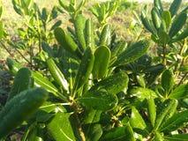 Babystruik met groene bladeren royalty-vrije stock afbeeldingen