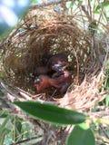 babysvogel op nest Stock Foto