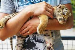 Babytiger liegt und erhält Vergnügen dass sein streichender Mann räuberische Katze des Jungen in den Händen des Mannes stockbilder