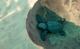 Babyturtle tortuga tortoiseshell. Babyturtle tortuga small tortoiseshell ocean turtle marinelife animal royalty free stock photography
