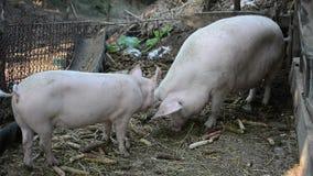 Babyvarken met moeder stock footage