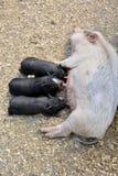 Babyvarkens die mllk van hun moeder zuigen Stock Afbeelding