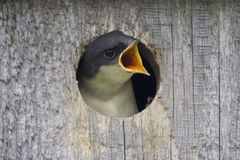 Babyvogel stock afbeelding