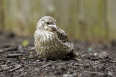 Babyvogel Stock Foto
