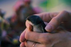 Babyvogel door een vrouw wordt gehouden die royalty-vrije stock afbeelding