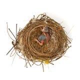 Babyvogel in een nest Stock Afbeelding