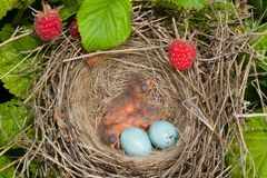 Babyvogels Royalty-vrije Stock Afbeeldingen