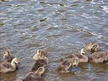 Babyvogels en Zonlichtspel op Water stock foto