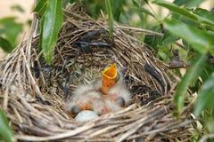 Babyvogels in het nest Stock Afbeeldingen