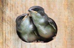 Babyvogels op een Vogelalgemene vergadering Royalty-vrije Stock Afbeeldingen