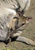 Babywallaby Stockbilder
