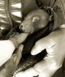 Babywombat die worden gevoed stock fotografie