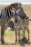 Babyzebra met moeder stock foto
