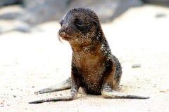 Babyzeehond Stock Afbeeldingen
