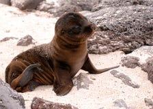 Babyzeehond die in zon op de eilanden van de Galapagos zonnebaadt stock afbeelding