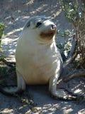 Babyzeehond op land Stock Afbeelding