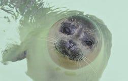 Babyzeehond in water Royalty-vrije Stock Foto's