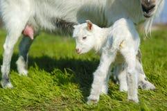 Babyziege und Ziegeneuter Stockfoto