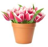 Bac de fleur avec les tulipes roses Photo libre de droits