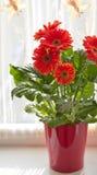 Bac de fleur rouge de marguerite image libre de droits