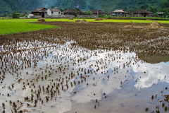 Bac Son rice field Royalty Free Stock Photos