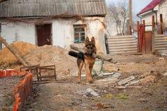 Baca niemiecki Pies Zdjęcia Royalty Free