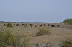 Baca prowadzi stada krowy przez pogodnego kniaź pole zdjęcie royalty free