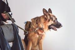 Baca, usługa pies z właścicielem nieważny zdjęcia royalty free
