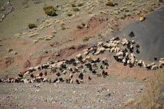Baca z sheeps i kózkami w atlant górach fotografia stock
