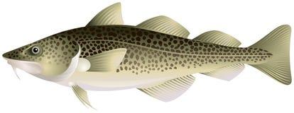 Bacalao atlántico Imagen de archivo libre de regalías