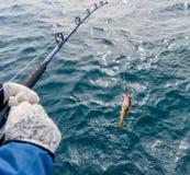 Bacalao durante viaje del barco, Islandia de la pesca Imagenes de archivo