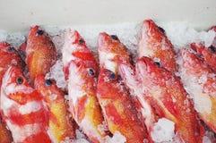 Bacalhau vermelho da rocha fotografia de stock