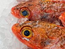 Bacalhau vermelho fresco da rocha, Sydney Fish Markets, Austrália Fotografia de Stock