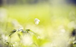 BacBackground met de lentesleutelbloemen - bloemen van anemony Royalty-vrije Stock Fotografie