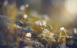 BacBackground met de lentesleutelbloemen - bloemen van anemony Stock Afbeeldingen