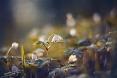 BacBackground met de lentesleutelbloemen - bloemen van anemony Royalty-vrije Stock Afbeelding