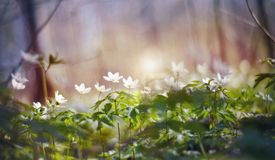 Background with spring primroses - flowers of an anemony royalty free stock photo