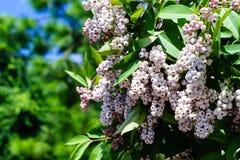 bacca bianca del corniolo del Rosso-vimine (salice rosso) in giardino Fotografia Stock
