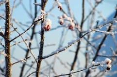 Bacca congelata sull'albero Immagine Stock Libera da Diritti