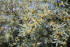 Bacca d'argento di fioritura Immagini Stock
