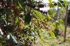 Bacca del caffè nell'azienda agricola di agricoltura Fotografie Stock Libere da Diritti