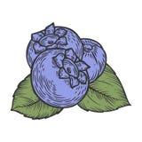 Bacca del mirtillo, frutta, foglia, pianta Bacca organica di Superfood Inciso disegnato a mano Fotografia Stock