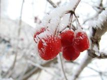 Bacca del Viburnum su gelo Immagine Stock
