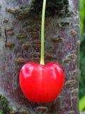 Bacca della ciliegia Fotografia Stock